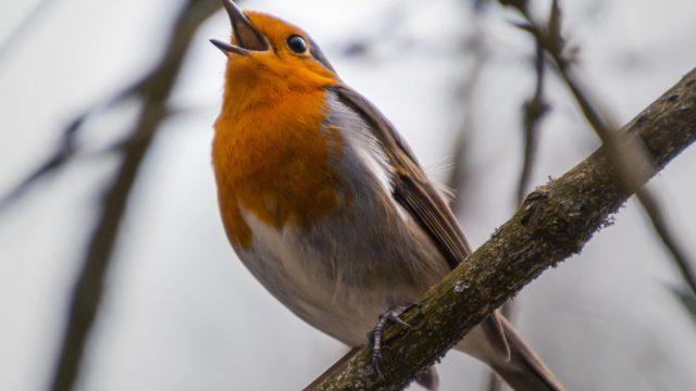 Uccellino che canta nel bosco